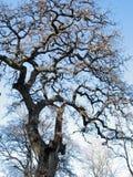 Vieil arbre dans des jardins de Borghese de villa Photos stock