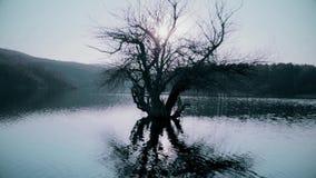 Vieil arbre dans l'eau sur le lac banque de vidéos
