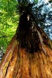Vieil arbre dans la forêt à feuilles caduques verte Images stock