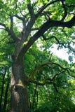 Vieil arbre dans la forêt photographie stock libre de droits