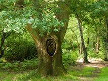 Vieil arbre dans la forêt Photo libre de droits
