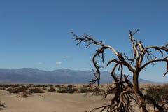 Vieil arbre dans le désert Images libres de droits