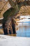 Vieil arbre dans le lac Images libres de droits