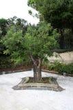 Vieil arbre dans le salvatori de San de ruine d'église images stock