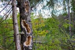 Vieil arbre de bouleau avec des cavités photo libre de droits