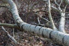 Vieil arbre de bouleau tombé images libres de droits