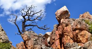 Vieil arbre de cèdre contre le ciel bleu Image stock