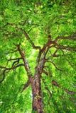 Vieil arbre de châtaigne majestueux Photos libres de droits