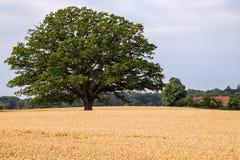 Vieil arbre de chêne Photo stock