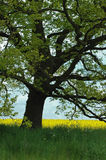 Vieil arbre de chêne dans le domaine de viol Images stock
