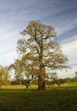 Vieil arbre de chêne en défunt automne Images stock