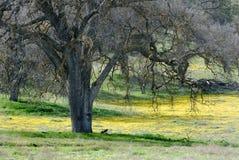 Vieil arbre de chêne et Goldfields Photos stock