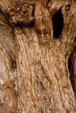 Vieil arbre de chêne noueux avec le trou de noeud Images libres de droits