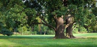 Vieil arbre de chêne vert intense en stationnement images stock