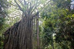 Vieil arbre de ficus dans la jungle de l'Australie Image libre de droits