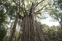 Vieil arbre de ficus dans la jungle de l'Australie Photo libre de droits