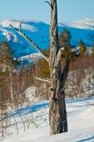 Vieil arbre de montagne Images stock
