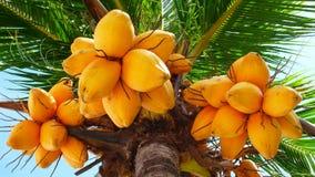 Vieil arbre de noix de coco Image libre de droits