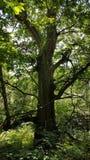 Vieil arbre des bois images stock