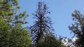 Vieil arbre effrayant et sec près de deux verts contre le ciel banque de vidéos
