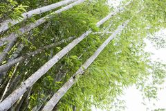 Vieil arbre en bambou dans la forêt en bambou Photos libres de droits