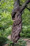 Vieil arbre en parc national de Bieszczady en Pologne Photos stock