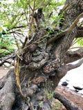 Vieil arbre fantasmagorique images libres de droits