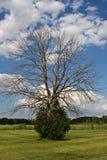 Vieil arbre fier Images stock