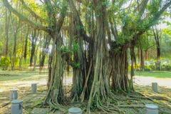 Vieil arbre géant en parc de montagne de Xiqiao photos libres de droits