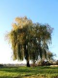 Vieil arbre grand puissant au-dessus de table et de bancs en bois photos stock