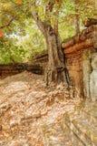 Vieil arbre le long de la clôture, merci temple de Prohm, Angkor Thom, Siem Reap, Cambodge Photos stock