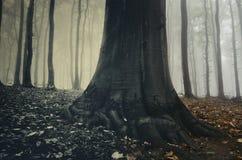 Vieil arbre magique g?ant dans la for?t surr?aliste avec le brouillard en Transylvanie photo libre de droits