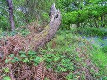 Vieil arbre mort dans la région boisée images libres de droits