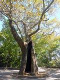 Vieil arbre plat Images stock