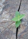 Vieil arbre réduit et un élevage fort de jeune plante Image libre de droits