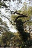 Vieil arbre sauvage formé et énorme impair photographie stock libre de droits
