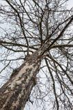 Vieil arbre stérile Gnarly Image libre de droits