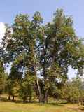 Vieil arbre sur la colline Photographie stock libre de droits