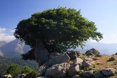 Vieil arbre sur une arête venteuse Image libre de droits