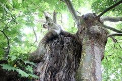 Vieil arbre tordu Images stock