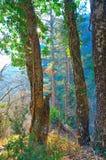 Vieil arbre trois dans la forêt, éclairée à contre-jour Photo stock