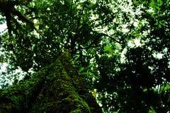 Vieil arbre verdâtre Images libres de droits