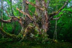 Vieil arbre vert dans la forêt photos libres de droits