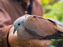 Vieil homme et la colombe Image stock