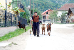 Vieil homme et ses chèvres rentrant à la maison après pâturage dans le village près de la ville de Strumica, Macédoine Photos libres de droits