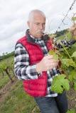 Vieil homme travaillant dans le vignoble Photographie stock libre de droits