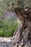 Vieil olivier Image stock
