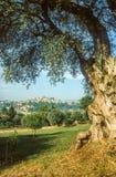 Vieil olivier dans le Cagnes-sur-Mer Photo libre de droits