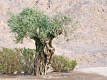 Vieil olivier dans le désert près d'Eilat Image libre de droits