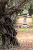Vieil olivier méditerranéen dans le verger Photos libres de droits